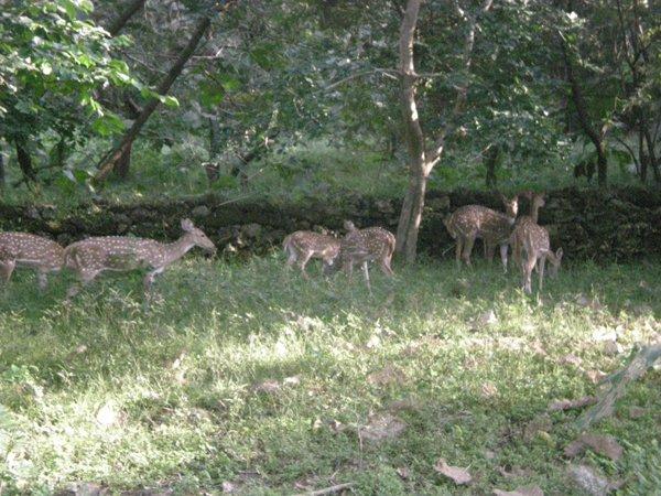 Deers Open in The Gir Jungle