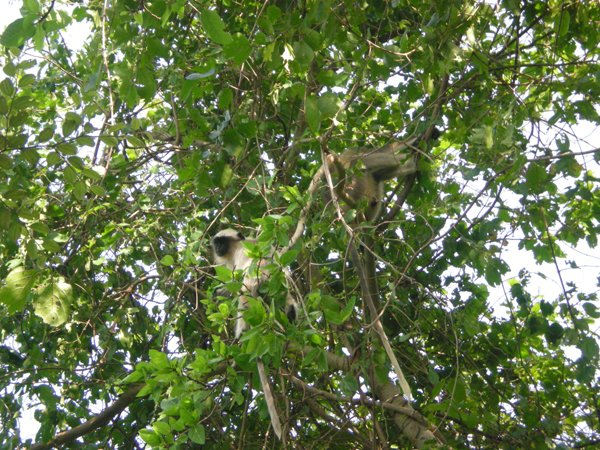 Monkeys On Trees Right Above Us